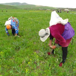 Zwei Frauen stehen gebückt auf eine rgrünen Wiese und ernten etwas. Im Hintgerund weites Land und weitere Personen, die gebückt etwas ernten.